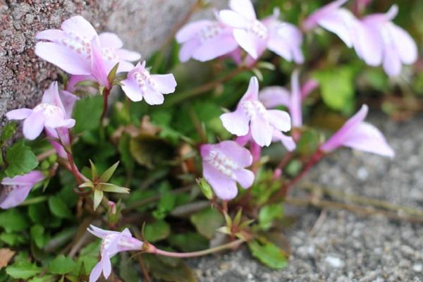 モモイロサギゴケが咲いてる様子の写真