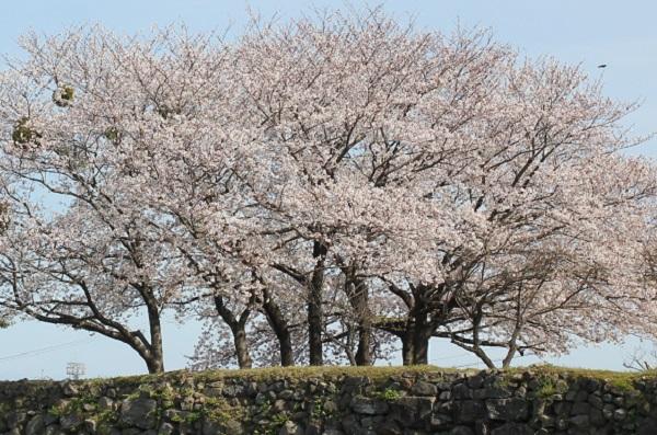 ソメイヨシノが満開の大木の写真