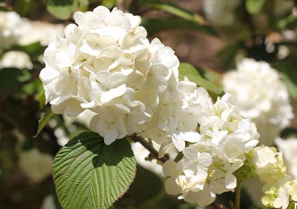 オオデマリが咲いてる様子の写真