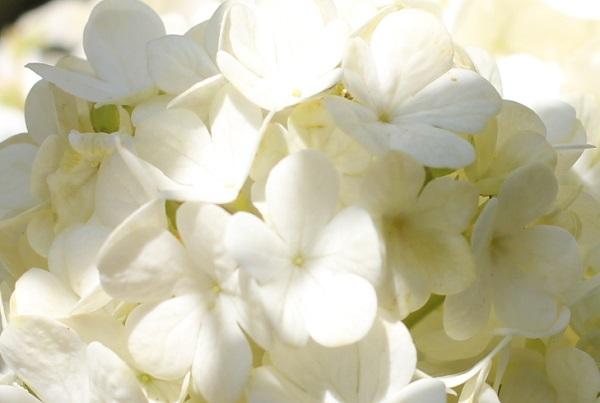 オオデマリの花、アップ写真