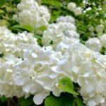 オオデマリの花の写真