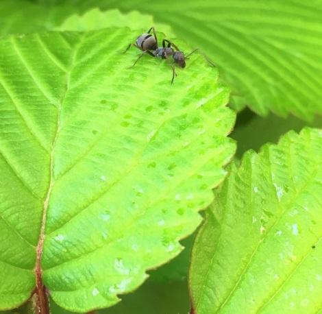 オオデマリの葉の写真