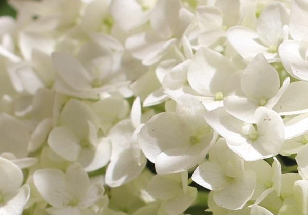 白い紫陽花のアップ写真