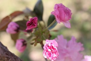 美しい八重のしだれ桜の写真