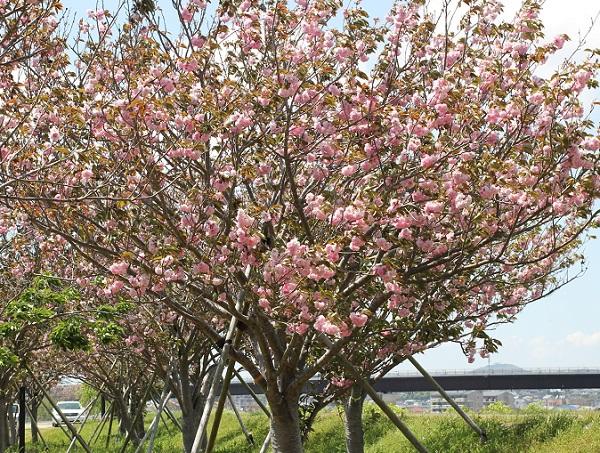 八重桜の満開の全体像の写真