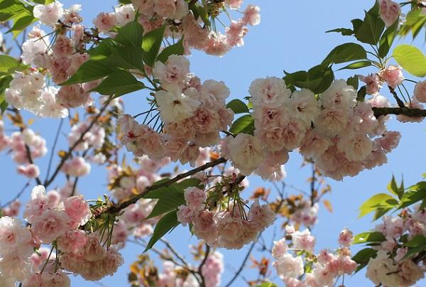 フゲンゾウ(普賢象)の花の写真