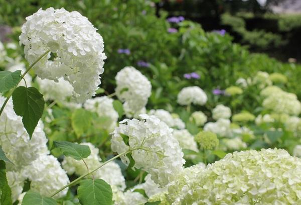 アナベルの花の写真