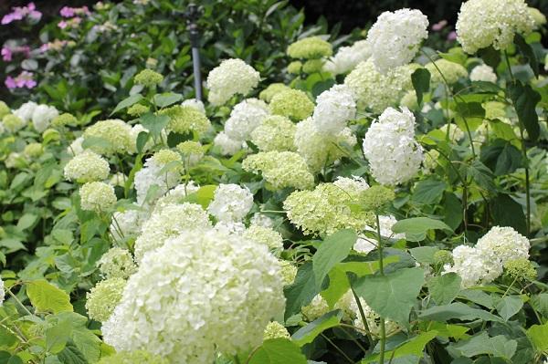 アナベルが咲いている様子の写真