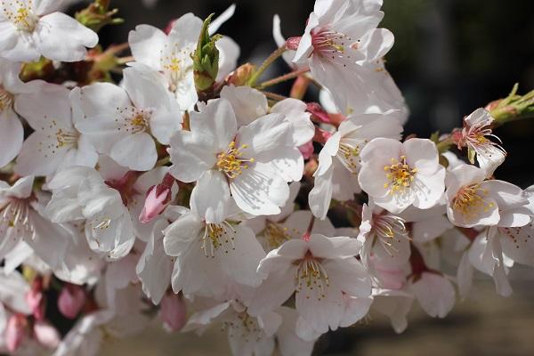 ソメイヨシノの花のアップ写真