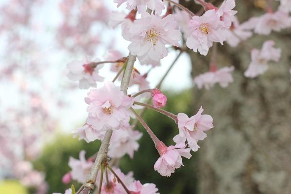 ヤエシダレザクラ(八重枝桜垂)の花の写真