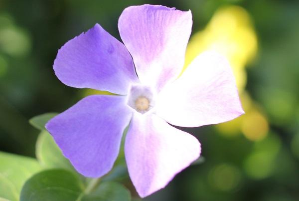 ツルニチニチソウの花の写真
