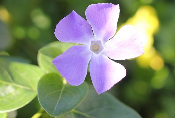 ヒメツルニチニチソウの花の写真