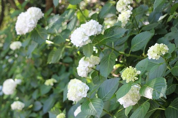 オオデマリが咲いている様子の写真