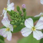 浜大根(ハマダイコン)の花の写真