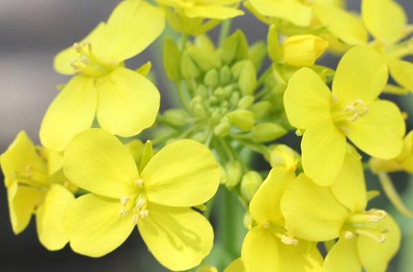 菜の花の花のアップ写真