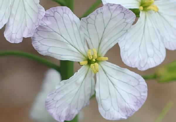 ハマダイコンの花のアップ写真