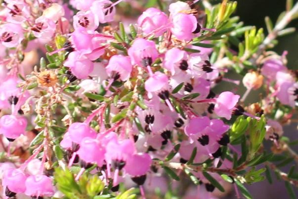 ジャノメエリカの花と葉の写真