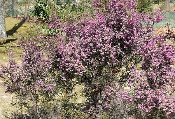 鮮やかな印象、ジャノメエリカの花が咲いた木の写真