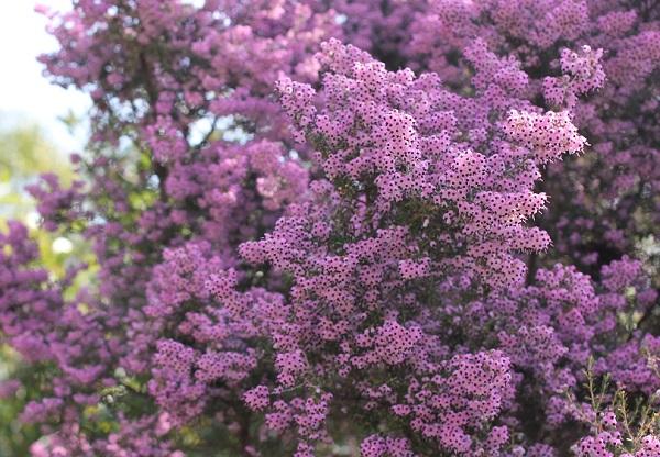 ジャノメエリカの花がたくさん咲いてる様子の写真