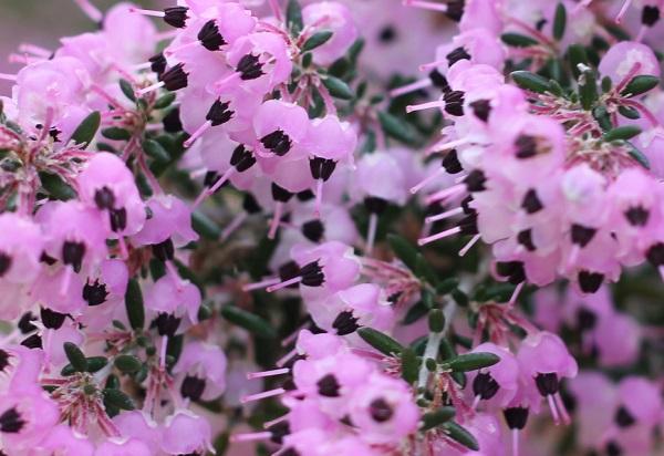 ジャノメエリカの花のアップ写真
