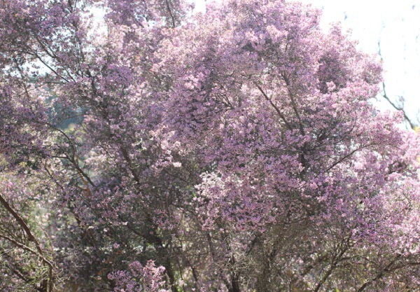 ジャノメエリカの大木の写真