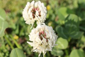 シロツメクサの花の写真