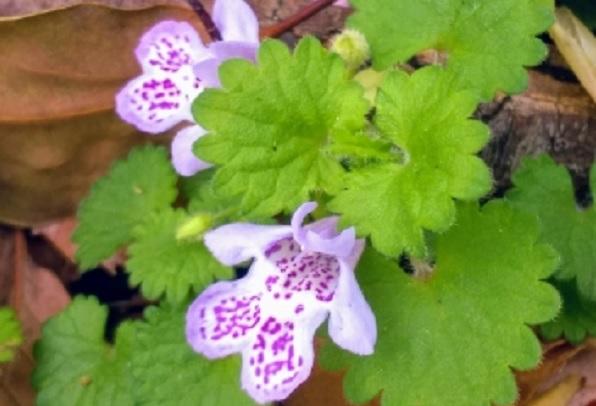 カキドオシの花の写真