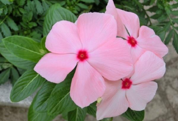 ニチニチソウの花の写真
