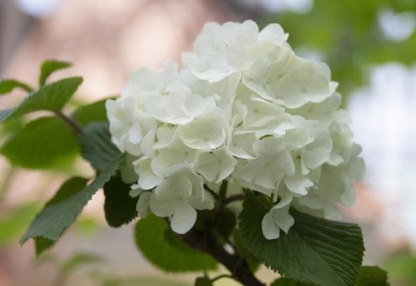 オオデマリの花のアップ写真