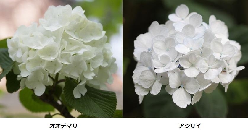 オオデマリと白い紫陽花の花、比較写真