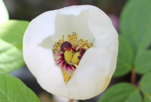 美しいヤマシャクヤクの花のアップ写真