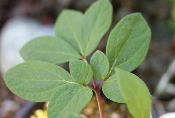 ヤマシャクヤクの葉の写真