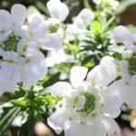 美しくイベリスが咲いた様子の写真