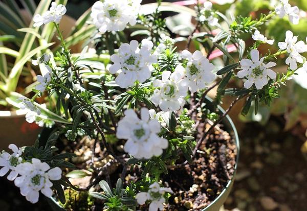 庭で咲いているイベリス・センペルヴィレンスの花の写真