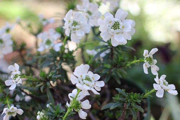 春になってたくさんの花咲かせたイベリス・センペルヴィレンスの鉢の写真