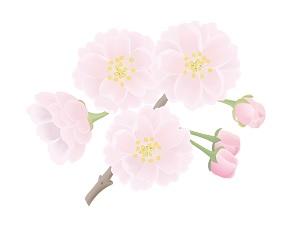 八重桜の花のイラスト