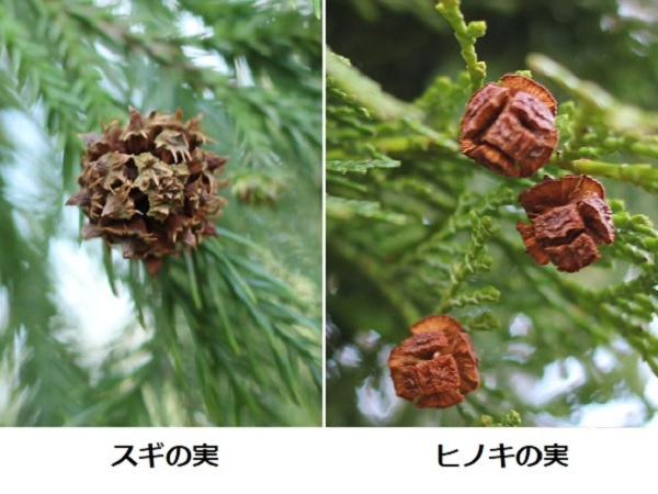 スギの実とヒノキの実 比較写真