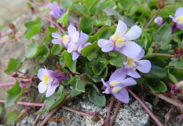 トキワハゼの花の写真