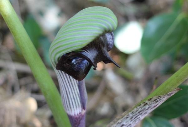 ムサシアブミの花の写真