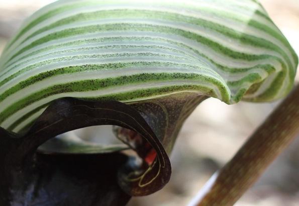 ムサシアブミの花のアップ写真