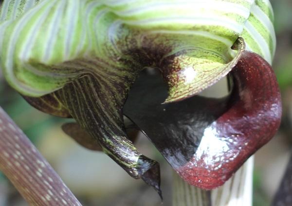ムサシアブミの花の中の写真(仏炎苞)