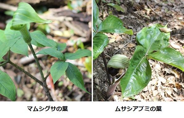 マムシグサの葉とムサシアブミの葉の比較写真