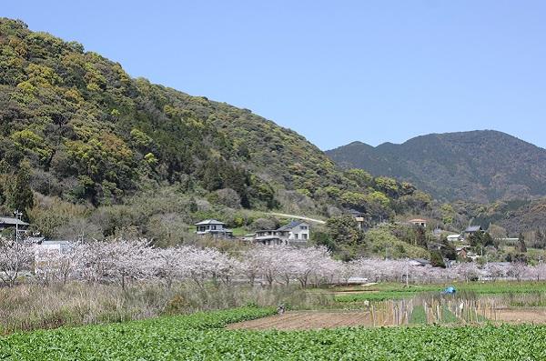飯盛町、田結の川沿いの桜並木の写真