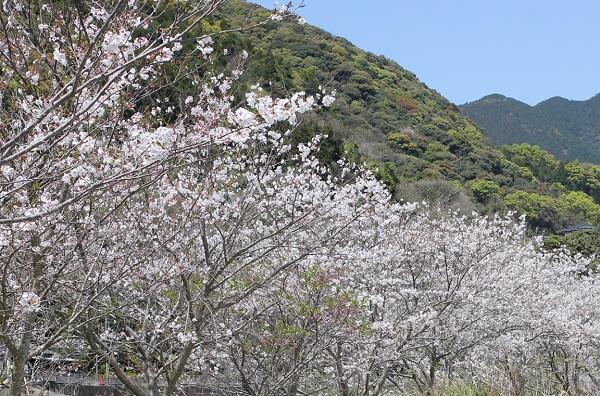 飯盛町、田結の川沿いの桜並木、満開の桜と山の写真
