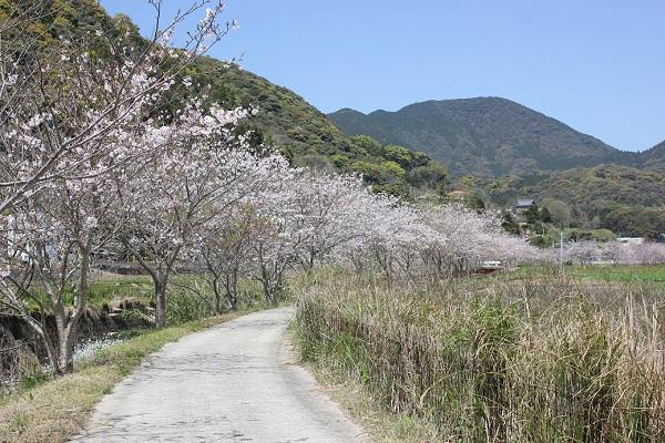 飯盛町、田結の川沿いの桜並木、満開の桜の小道の写真