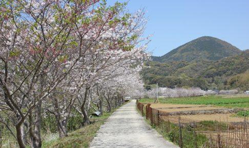 飯盛 田結の桜並木の写真