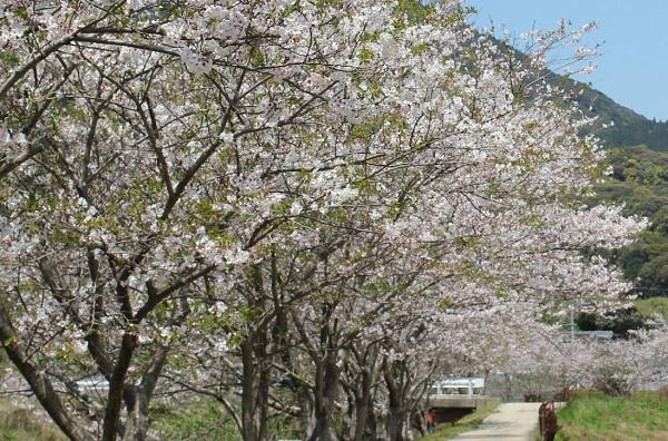 飯盛町、田結の川沿いの満開の桜の写真