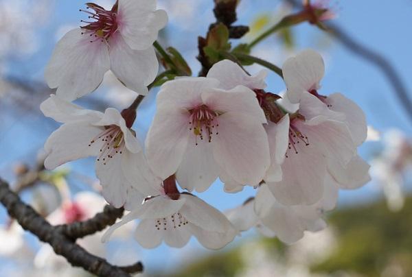 飯盛町、田結の川沿いの桜、ソメイヨシノのアップ写真