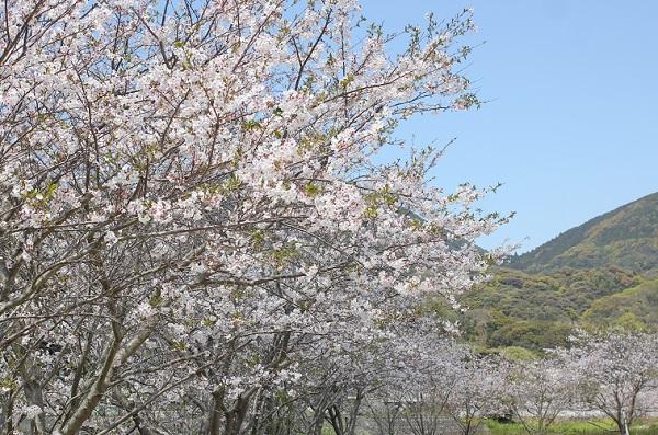 飯盛町、田結の川沿いの桜並木、癒される穏やかな風景写真