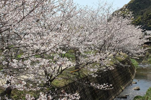 飯盛町、田結の川沿いの桜並木と川の写真